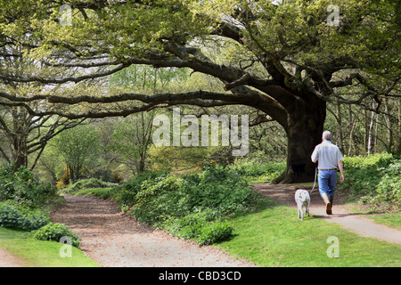Man walks his dog in Woods on Wimbledon Common, a large area of park and woodland close to the centre of London - Stock Photo
