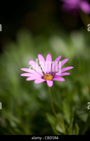 A purple ox-eye daisy, close-up - Stock Photo