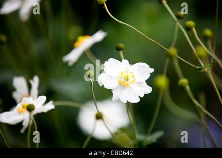 White Japanese anemone flowers - Stock Photo