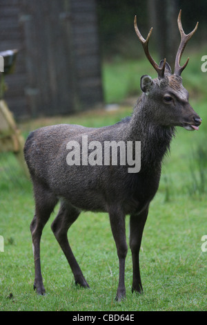 Sika deer in Gortin Glen Forest Park, Omagh, county Tyrone, Northern Ireland - Stock Photo