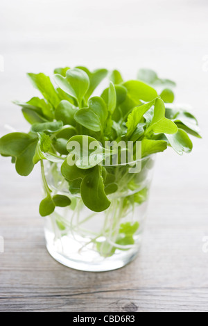 Radish sprouts in glass of water - Stock Photo