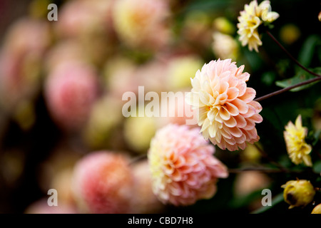 Peach and yellow Dahlia flowers in bloom - Stock Photo