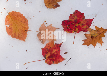 Leaves of Red Maple, American Beech and Oak on early snow, in the Catskill Mountains, New York State. - Stock Photo