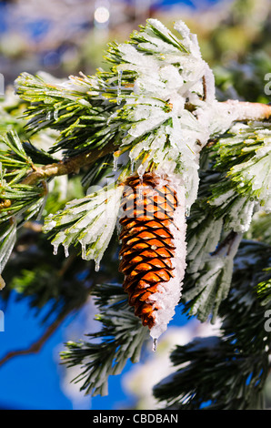 Rime ice on pine cones and branches, San Bernardino National Forest, California USA - Stock Photo