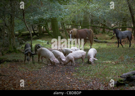 Pigs and horses foraging for acorns and seeds under the ancient right of Pannage or Mast in the New Forest, Hampshire, - Stock Photo
