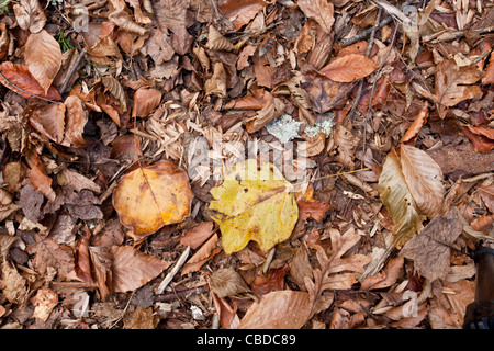 Fallen leaves and fruit of Tulip tree, Liriodendron tulipifera; woodland, New York State. USA - Stock Photo