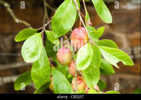 Prunus domestica 'Victoria', Plum - Stock Photo