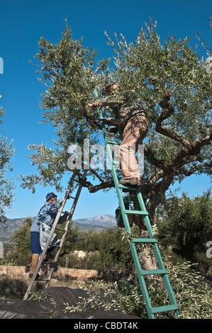 Harvesting Kalamata olives, near Kardamyli in the Outer Mani, Messinia, Southern Peloponnese, Greece - Stock Photo