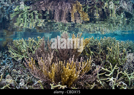 Staghorn corals, Acropora spp., compete with fast-growing gorgonians for space on a shallow coral reef in remote - Stock Photo