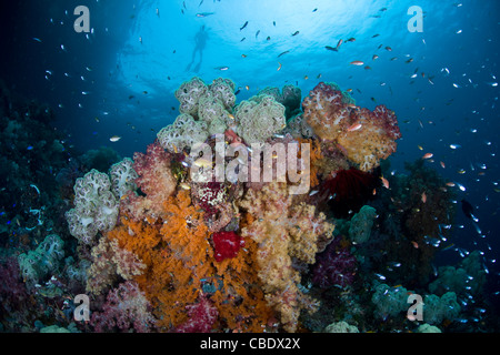 A bouquet of soft corals, Dendronephthya spp., is surrounded by anthias, Pseudanthias sp., and cardinalfish, Apogon - Stock Photo