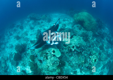 A manta ray, Manta alfredi, glides slowly over a cleaning station where it will have parasites removed by numerous - Stock Photo
