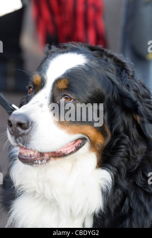 bernese mountain dogs face Canis lupus familiaris - Stock Photo
