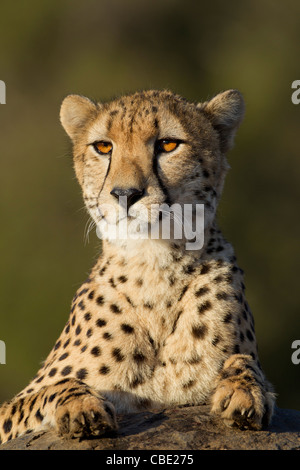 Cheetah (Acinonyx jubatus) in South Africa. Having a view over the rock to see if there are any interests on the - Stock Photo