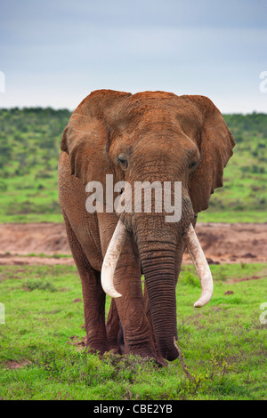 A large Elephant Bull ( Loxodonta Africana ) captured in Hapoor Dam in Addo Elephant National Park in South Africa. - Stock Photo