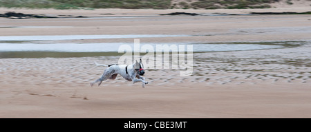 Black and white greyhound running on beach; all legs off ground - Stock Photo