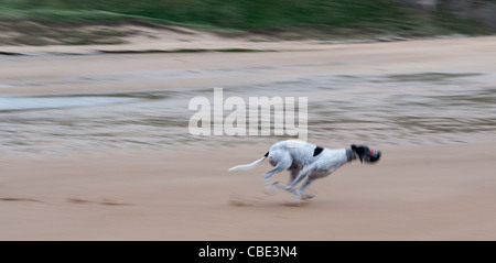 Black and white greyhound running on beach; motion blurred - Stock Photo