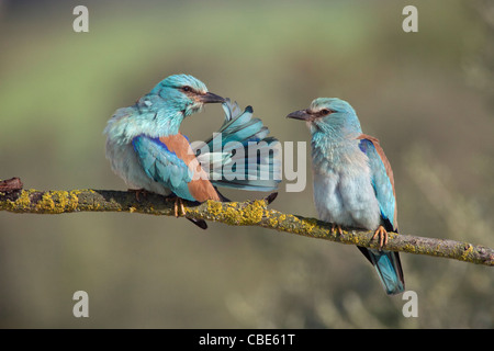 European Roller (Coracias garrulus), pair courtship displaying, Spain - Stock Photo