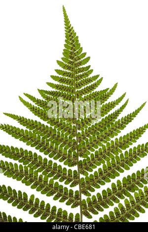 sporangium on leaf fern on white background - Stock Photo