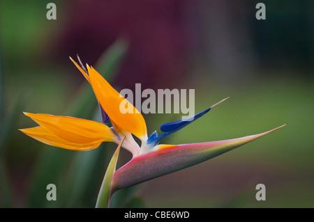 Bird of Paradise flower (Strelitzia reginae); Hawaii. - Stock Photo