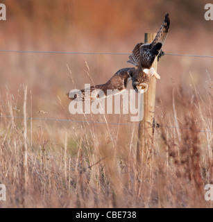 Wild Short Eared Owl swooping down onto prey in Leicestershire - Stock Photo