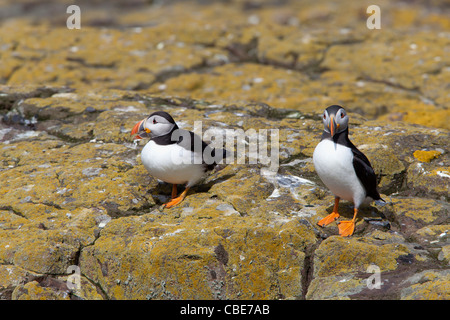 Atlantic Puffin Fratercula arctica two birds in breeding plumage perched on Lichen covered rocks - Stock Photo