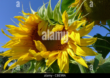 The petals of a sunflower almost fully opened on a  summer day. - Stock Photo