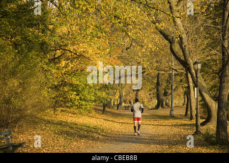 Loan jogger runs among the leaves of the bright yellow Gingkos in Prospect Park, Brooklyn, NY. - Stock Photo