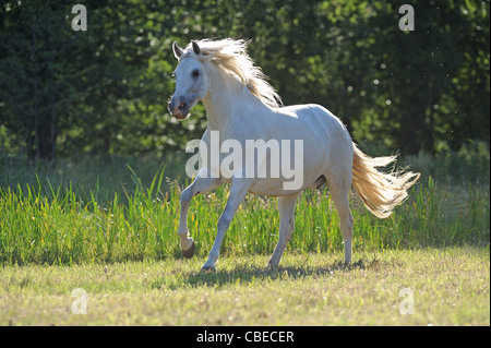 Andalusian Horse (Equus ferus caballus). Gray mare in a gallop on a meadow. - Stock Photo