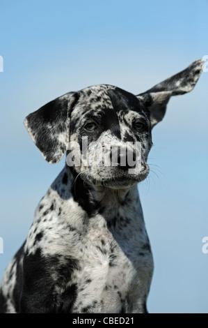 Louisiana Catahoula Leopard Dog (Canis lupus familiaris). Portrait of a puppy. - Stock Photo