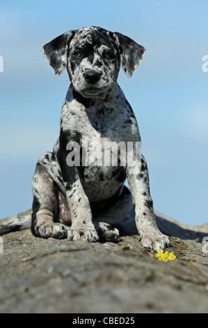 Louisiana Catahoula Leopard Dog (Canis lupus familiaris). Puppy sitting on a tree trunk. - Stock Photo