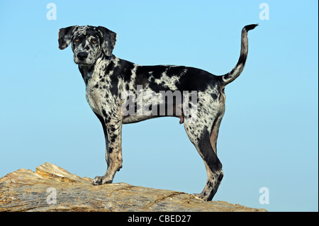 Louisiana Catahoula Leopard Dog (Canis lupus familiaris). Puppy standing on a tree trunk. - Stock Photo