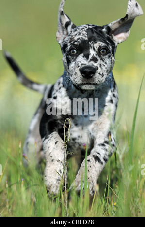 Louisiana Catahoula Leopard Dog (Canis lupus familiaris). Puppy running on a meadow. - Stock Photo