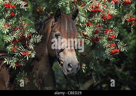 Connemara Pony (Equus ferus caballus), portrait of a stallion with Rowan in background. - Stock Photo