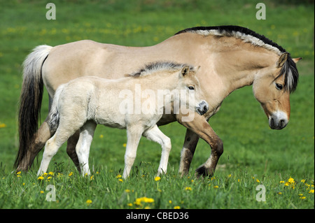 Norwegian Fjord Horse (Equus ferus caballus). Mare with foal walking on a meadow. - Stock Photo