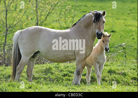Norwegian Fjord Horse (Equus ferus caballus). Mare with foal standing on a meadow. - Stock Photo