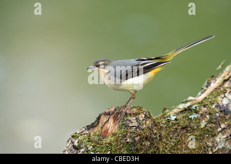 Grey Grey Wagtail (Motacilla cinerea). Juvenile standing on a mossy log. - Stock Photo