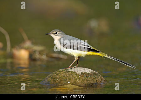 Grey Grey Wagtail (Motacilla cinerea) foraging in a flowing stream. - Stock Photo