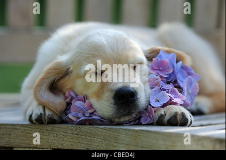 Golden Retriever (Canis lupus familiaris). Puppy sleeping on a blue Hydrangea flower. - Stock Photo