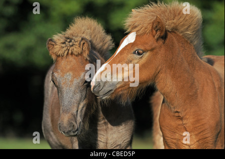 Icelandic Horse (Equus ferus caballus). Two foals sniffing at each other. - Stock Photo