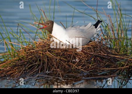 Black-headed Gull (Larus ridibundus), adult on nest, calling. Grote peel National Park, Netherlands. - Stock Photo