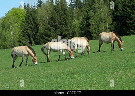 Przewalskis Horse, Mongolian Wild Horse (Equus ferus przewalskii). Four individuals grazing on a meadow. - Stock Photo