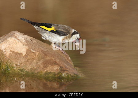 European Goldfinch (Carduelis carduelis). Adult drinking. - Stock Photo