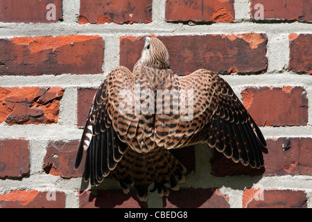 Common Kestrel (Falco tinnunculus). Juvenile clinging to a brick wall. - Stock Photo