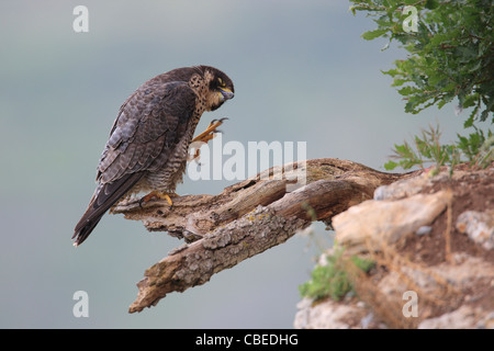 Peregrine Falcon (Falco peregrinus) standing on a broken off branch while scratching. - Stock Photo