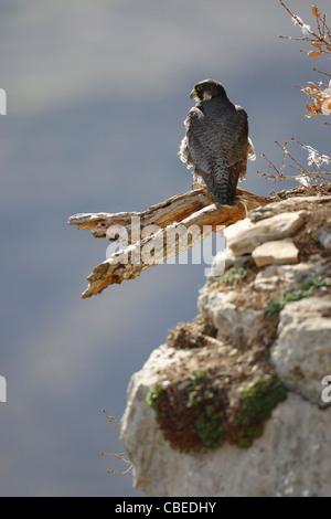 Peregrine Falcon (Falco peregrinus) standing on a broken off branch. - Stock Photo