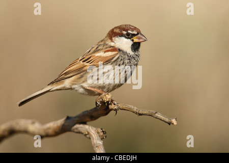 Spanish Sparrow (Passer hispaniolensis), male perched on a twig. - Stock Photo