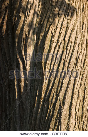 aesculus hippocastanum horse chestnut bark stock photo