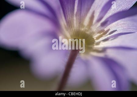 Anemone blanda, Blue flower subject. - Stock Photo