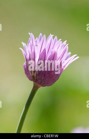Allium schoenoprasum, Chive, Purple flower subject, Green background. - Stock Photo