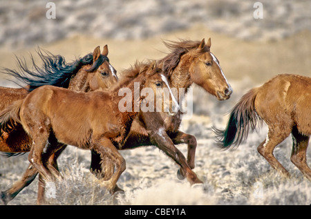 Group of wild horses, full gallop. - Stock Photo